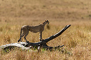 Cheetah (Acijonyx jubatus) on a lor in Maasai Mara, Kenya.