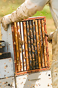 The frames are then taken to a honey extractor where the honey is removed. Then the frame with the honeycomb, still intact, is brought back to the hive.