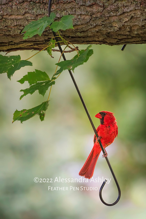 Northern cardinal (Cardinalis cardinalis) male in brilliant red plumage, perching on a large hook that doubles as a swing.