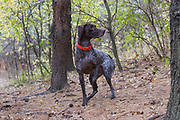 Juli Schrenkler and her GSP training in St. Paul, Minnesota