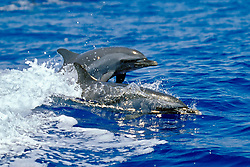 pantropical spotted dolphins, mother & calf, Stenella attenuata, wake-riding, Big Island, Hawaii, Pacific Ocean
