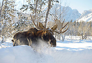 """A bull moose wades through deep snow in Moose recently near the entrance to Grand Teton National Park. The large animal, with the scientific name Alces alces, is called an """"elk"""" in British English."""