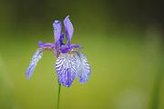 A Siberian iris flower