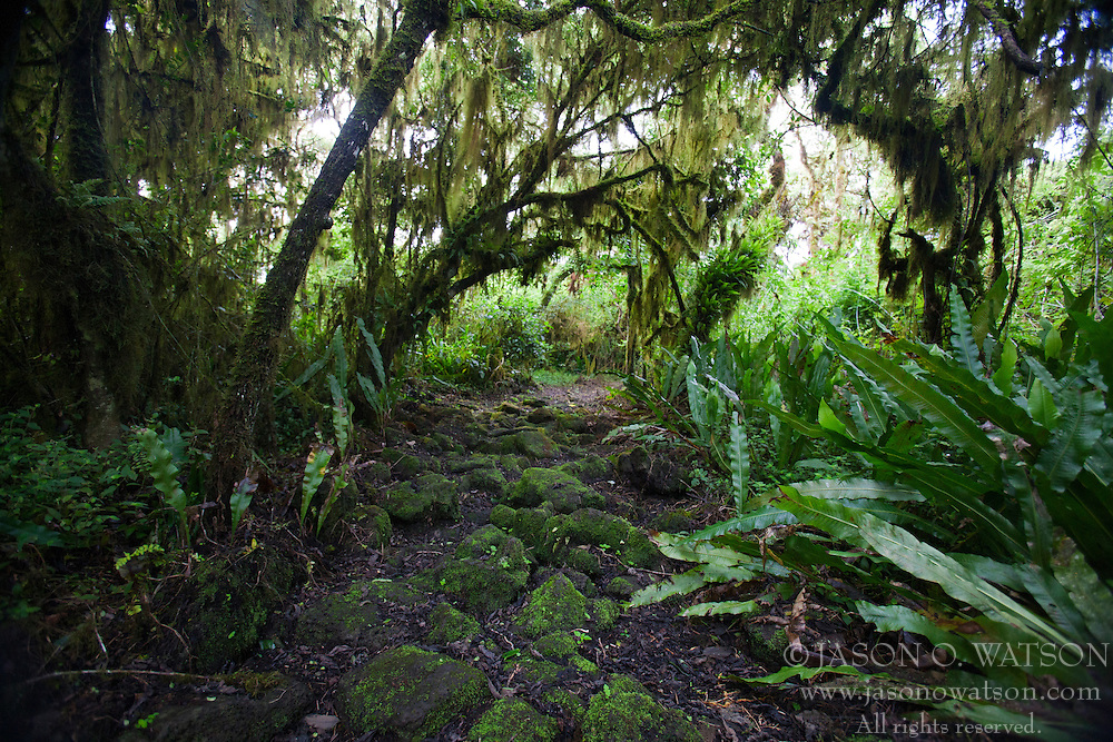 Hiking trail through a Scalesia tree forest to Los Gemelos, Galapagos Islands National Park, Santa Cruz Island, Galapagos, Ecuador