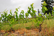 gamay cordon simple training vineyard trellised moulin a vent beaujolais burgundy france