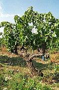 gobelet pallise domaine de cabasse rhone france
