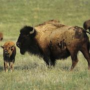 Bison (Bison bison) mother and calf on the grasslands of Montana.