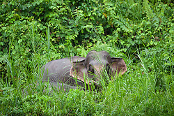 A bornean elephant is pictured near the Kinabatangan River, on August 5, 2019 near Sandakan city, State of Sabah, North of Borneo Island, Malaysia. Palm oil plantations are cutting down primary and secondary forests vital as habitat for wildlife including the critically endangered Bornean elephants. Photo by Emy/ABACAPRESS.COM