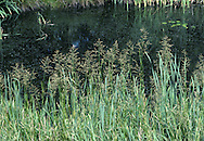 Reed Sweet-grass (Glyceria maxima) HEIGHT to 2m. Impressive plant of shallow fresh water and marshy ground, often forming large patches. FLOWERS In a large inflorescence that is much branched with narrow spikelets (July-Aug). FRUITS Small, dry nutlets. LEAVES Bright green, long, 2cm wide, with a dark mark at the junction.
