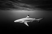 French Polinesia, Moorea, Hauru. Portrait of a black tip shark swimming near the surface.
