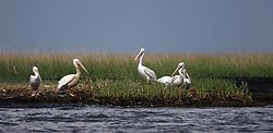 07 June 2010. Pointe aux Chenes, Louisiana.<br /> Fading away. White pelicans in wetlands south of Pointe Aux Chenes. Oil washing up on the  marsh grasses threatens everything. If the grass dies, there is nothing left to hold the land. All of this was solid ground just 100 years ago. Diversion of the mighty Mississippi River diverted sediment from the wetlands and deposited precious land building material deep out at sea.  At present, all these fishing grounds are closed. Members of the Pointe aux Chenes Indians, settlers that can trace their roots beyond 5 generations back to France face extinction of their very way of life, their very existence. French cajun is the language of the elders, but is dying out in the children of today. BP's catastrophic oil spill threatens everything, their way of life and the land on which they live. Not recognised by the federal government, the 680 member tribe struggles for funds in a small community that survives only because of fishing and oil extraction in the Gulf of Mexico.<br /> Photo; Charlie Varley/varleypix.com