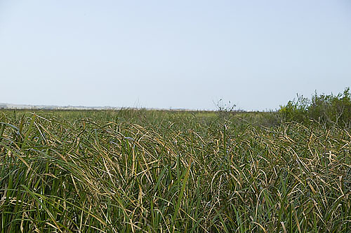 South America, Uruguay, Rocha, Parque Nacional Santa Teresa, Estacion Biologica Potrerillo de Santa Teresa, capybara, Hydrocoerus hydrochaeris, carpincho, marsh, habitat