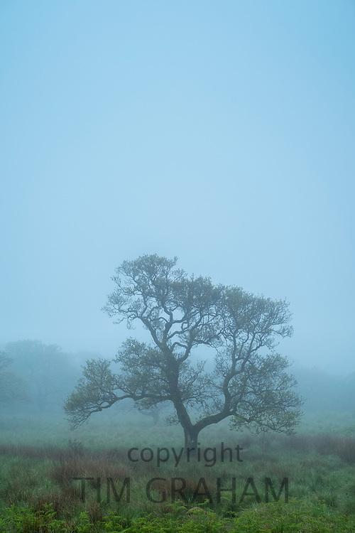 Lone tree in a misty landscape scene in Scotland
