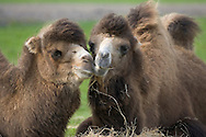 Bactrian Camel Camelus bactrianus Shoulder height to 2.2m Large, sturdy ungulate with two humps. Native range is steppes of central Asia but also widely domesticated.