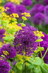 Allium hollandicum 'Purple Sensation' with Smyrnium perfoliatum