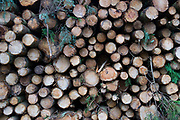 Pile of logs from pine trees which have been cut down as part of forest management on the Isle of Wight, England, United Kingdom.