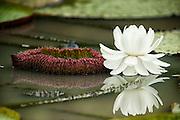 Giant Water Lillies (Victoria amazonica)<br /> Karanambu<br /> Rupununi<br /> GUYANA<br /> South America