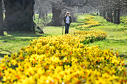 © Licensed to London News Pictures. 25/03/2016<br /> A woman walks through a long row of Daffodils on Good Friday morning today at Footscray Meadows in Sidcup, Kent. Photo credit: Grant Falvey/LNP