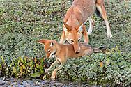 Äthiopischer Wolf (Canis simensis) im Bale Mountains Nationalpark im Web Valley in der Region Sodota. Welpen des Megitti Rudels beim Spiel in der Nähe des Baus