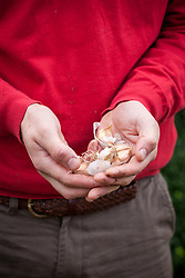 Hands holding garlic cloves ready to plant - Allium sativum
