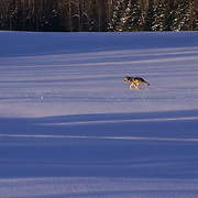 Gray Wolf, (Canis lupus) Adult running across field. Winter. Midwest.  Captive Animal.