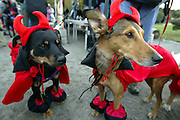 """Dogs dressed up as """"Our Little Devils"""" wait for the judging to begin during Dog-O-Ween at Seattle's Genessee Park. The event, sponsored by Citizens for Off-Leash Areas (COLA), featured a costume contest.<br /> John Lok / The Seattle Times"""