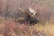 Bull moose in Wyoming during the fall rut