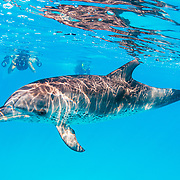 A woman snorkels with and photographs an Atlantic spotted dolphin (Stenella frontalis) off Bimini, Bahamas.