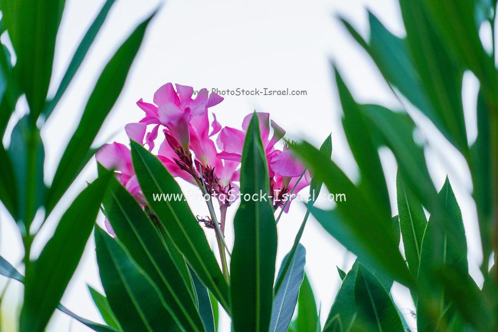 Flowering pink Oleander (Nerium oleander) bush. Photographed in Greece in June