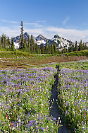 Wildflowers surround the Lakes Trail on Mazama Ridge in Mount Rainier National Park, Washington State, USA