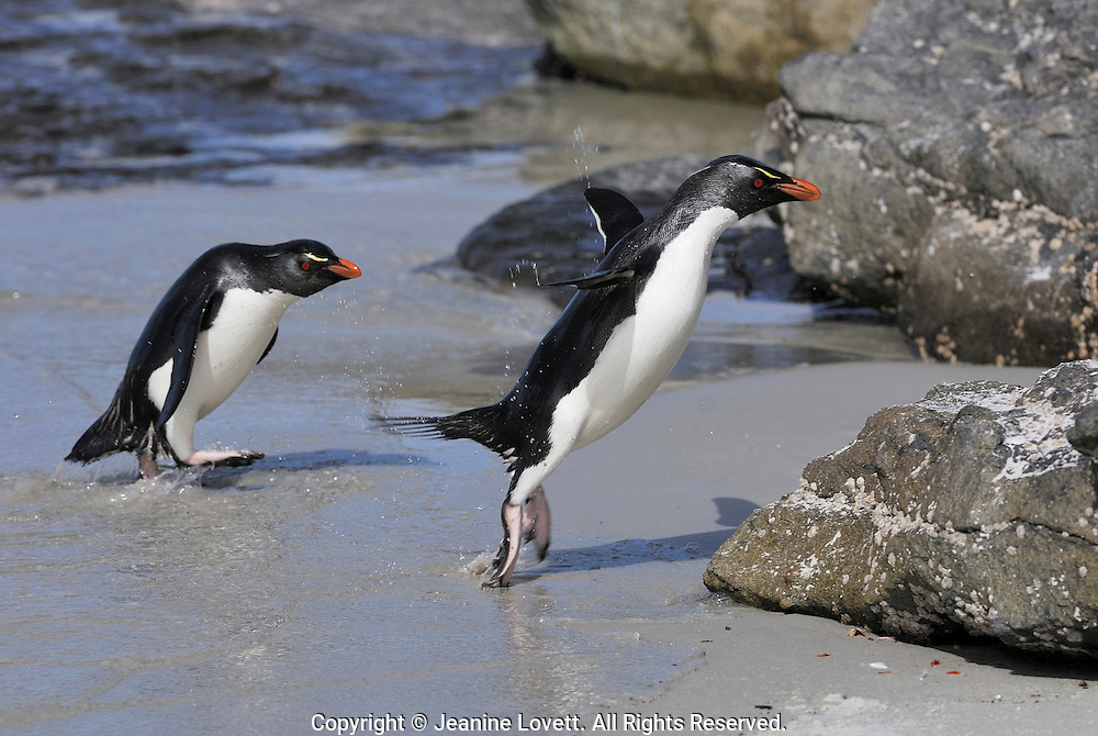 Rockhopper penguin coming out from the ocean and hopping onto land. Rockhopper penguins nest in steep rocky places Rockhopper penguins Hop from rock to rock.