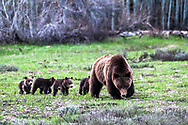 Grizzly 399 and her four cubs browsing a meadow in Grand Teton National Park.  A mountain grizzly with quadruplets is a rare event, a grizzly having cubs at twenty four years old is even greater.