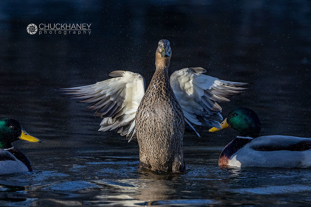 Female Mallard duck drying wings while male suitors look on  at Woodland Park in Kalispell, Montana, USA