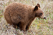 Black bear cubs in the Greater Yellowstone Ecosystem