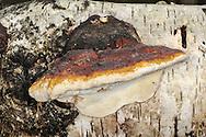 Fomitopsis pinicolor