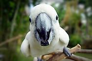 white cockatoo, Indonesia