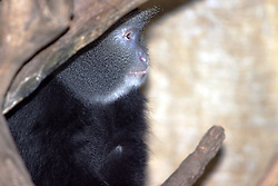 03 July 2006  A quick vacation through Iowa to Omaha.  blue monkey (Cercopithecus mitis). (Photo by Alan Look)