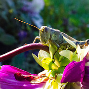 What a pleasant day for a grasshopper to spend a fall afternoon.  He just st there enjoying himself and the warm sun.