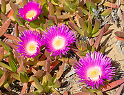 Pink purple flower of Carpobrotus edulis, a ground-creeping plant with succulent leaves native to South Africa. Also known as Hottentot-fig, ice plant, highway ice plant or pigface and in South Africa as the sour fig. Now naturalised along the Atlantic coast of Portugal where it is considered an invasive species and planting it is prohibited. The Hottentot fig is a major threat to the conservation of rare indigenous Portuguese plants. Southwest Alentejo and Vicentina Coast Natural Park, 29 March 2019