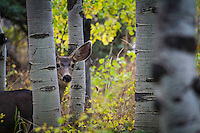 A doe mule deer cautiously peeks around the aspen trees in Utah's Wasatch Mountains.