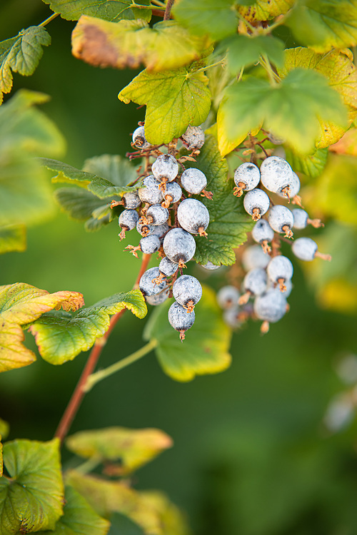 The unexpectedly unusual fruit of the red-flowering currant looks like a dusty, slightly spiky blueberry or huckleberry but can be found in great profusion in particular parts of the Pacific Northwest from the river bottoms to the lower elevations of the Cascade Mountains. Although somewhat sweet but rather mushy, it typically isn't eaten by people but is a great food source for wildlife, especially birds. These pretty clusters of berries were found growing next to the Green River about 20 miles south of Seattle, Washington on a warm summer day.