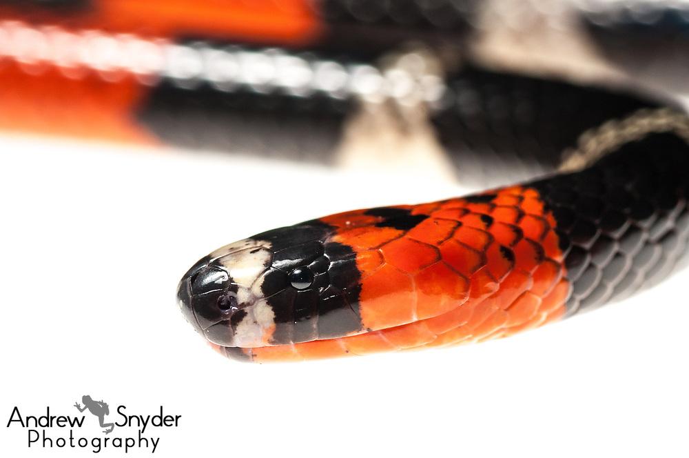 South American Coral Snake, Micrurus lemniscatus, Kanuku Mountains, Guyana, July 2013