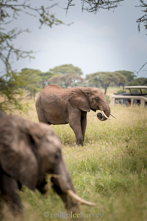 Nature photograph with two African elephants (Loxodonta africana) in the savannah in Tarangire National Park, Tanzania