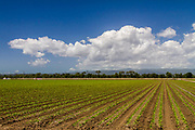 Agricultural view of a lettuce field in the Pajaro Valley near Watsonville, California