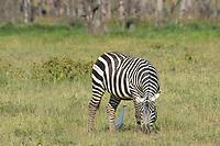 Grant's Zebra, Equus quagga boehmi, with Cattle Egret, Bubulcus ibis, in Lake Nakuru National Park, Kenya