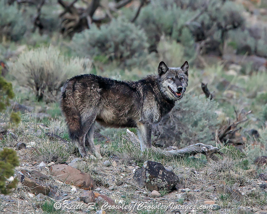 Gray wolf (Canis lupus) wearing Radio Telemetry Collar