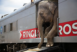 """Elephants disembark the train in Washington DC.<br /> <br /> Ringling Bros. and Barnum & Bailey Circus started in 1919 when the circus created by James Anthony Bailey and P. T. Barnum merged with the Ringling Brothers Circus. Currently, the circus maintains two circus train-based shows, the Blue Tour and the Red Tour, as well as the truck-based Gold Tour. Each train is a mile long with roughly 60 cars: 40 passenger cars and 20 freight. Each train presents a different """"edition"""" of the show, using a numbering scheme that dates back to circus origins in 1871 — the first year of P.T. Barnum's show."""