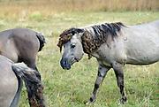 Nederland, Ooij, 18-9-2012Konikpaarden in de Ooijpolder, Millingerwaard. Ze zitten onder de klitten. Een oude hengst zit onder de verse wonden. Distels. De Konik leeft in kuddeverband. De wilde paarden zijn uitgezet in natuurgebieden door heel Nederland en doen het goed. Soms worden ze uitgezet in Oost-europa.Foto: Flip Franssen/Hollandse Hoogte