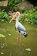 A painted stork (Mycteria leucocephala) near water. Johore, Malyasia.