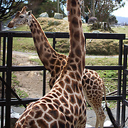 Giraffe at  Wellington Zoo Daniell Street, Newtown, Wellington,  New Zealand, 2011, Photo Tim Clayton.